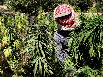 A Hezbollah farmer with his crop in Lebanon--just one more instance of narco-Islam.