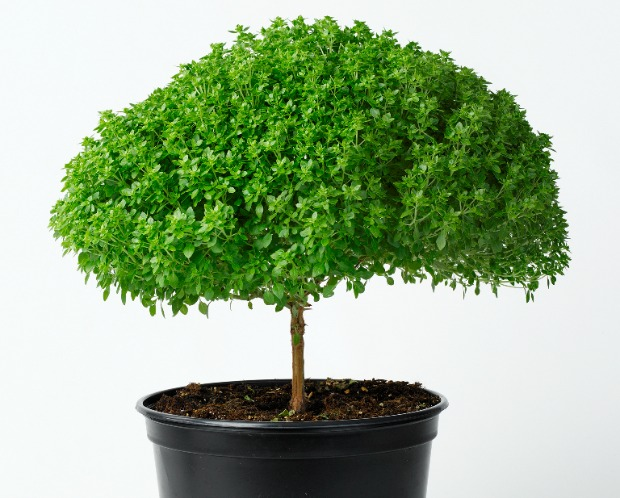 How about this mini basil tree for your yard or kitchen window?