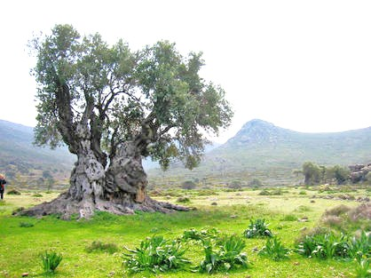 Another ancient olive tree in the Galilee region of Israel.