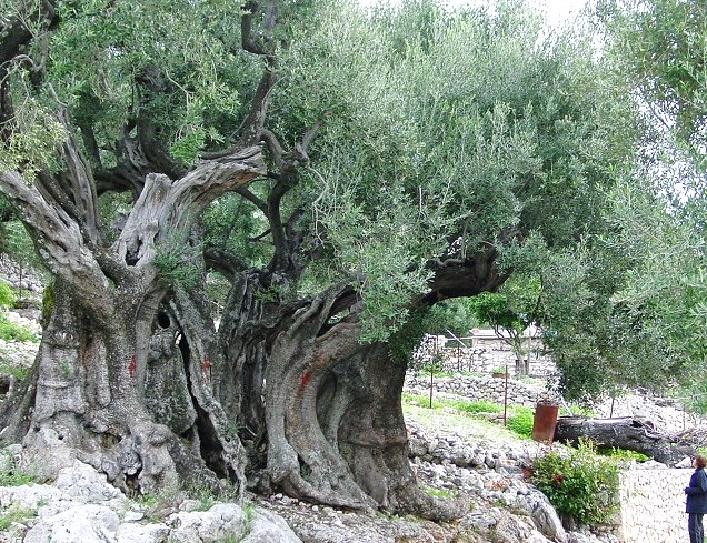 A 1500 year old olive tree in the Galilee region of Israel--an olive tree planted by Jewish farmers in the 4th century CE.