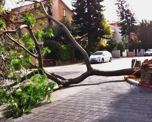 This tree hit the street a few hours ago in Tel Aviv (photo: Walla).