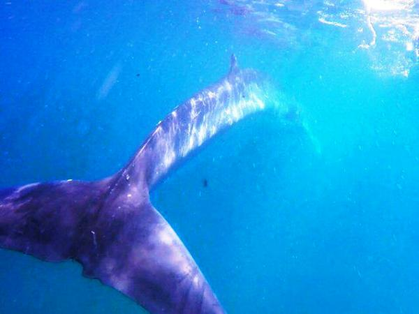This picture was made as the whale swam away into deeper waters.