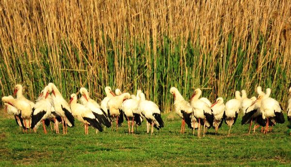 The storks wasted no time in getting down to eating.